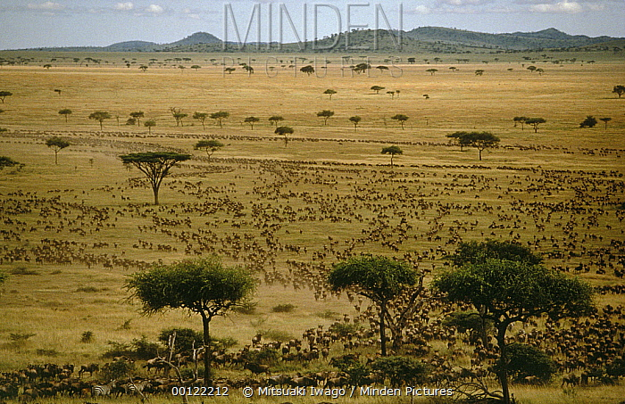 Blue Wildebeest (Connochaetes taurinus) herd migrating, Serengeti National Park, Tanzania  -  Mitsuaki Iwago