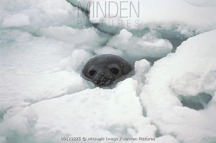 Weddell Seal (Leptonychotes weddellii) at breathing hole, Antarctica  -  Mitsuaki Iwago