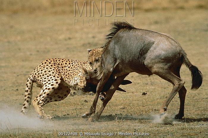 Cheetah (Acinonyx jubatus) attacking Blue Wildebeest (Connochaetes taurinus), Serengeti, Tanzania  -  Mitsuaki Iwago