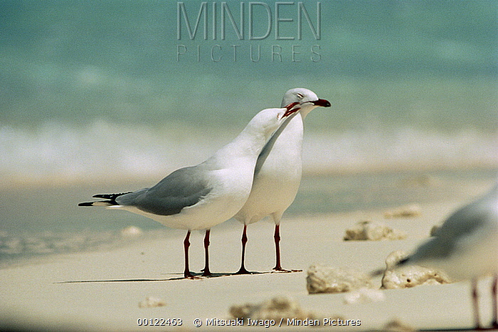 Silver Gull (Larus novaehollandiae) affectionate pair, Australia  -  Mitsuaki Iwago