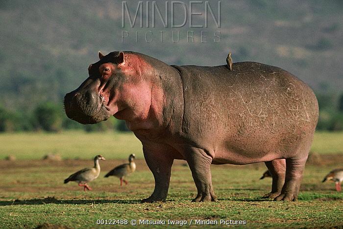 Hippopotamus (Hippopotamus amphibius) with Yellow-billed Oxpecker (Buphagus africanus), Serengeti National Park, Tanzania  -  Mitsuaki Iwago