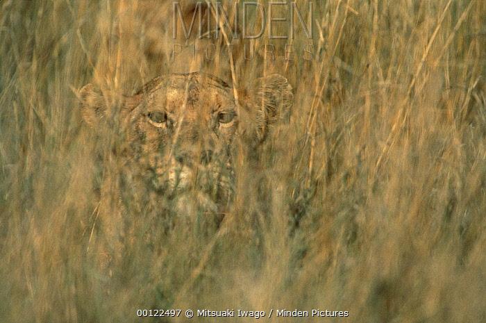 African Lion (Panthera leo) female camouflaged in tall grass, Serengeti National Park, Tanzania  -  Mitsuaki Iwago
