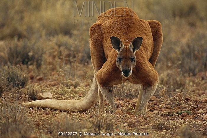 Red Kangaroo (Macropus rufus) male portrait, Australia  -  Mitsuaki Iwago