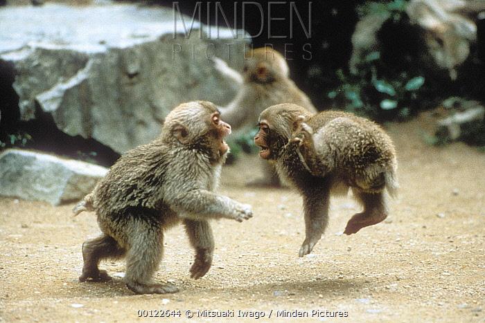 Japanese Macaque (Macaca fuscata) babies playing, Japan  -  Mitsuaki Iwago