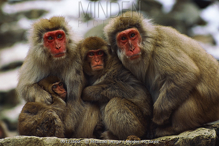 Japanese Macaque (Macaca fuscata) group with infant sitting in a line, Japan  -  Mitsuaki Iwago