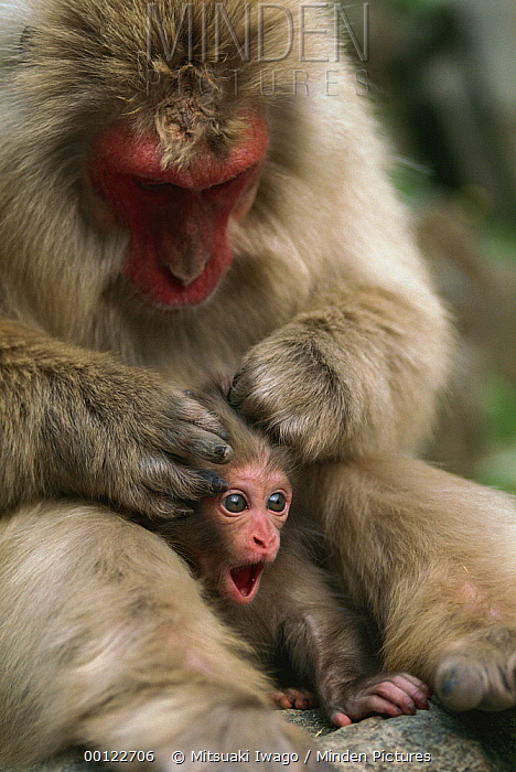 Japanese Macaque (Macaca fuscata) mother grooming calling infant, Japan  -  Mitsuaki Iwago