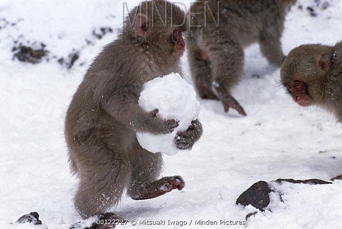 Japanese Macaque (Macaca fuscata) juvenile carrying a snowball, Japan  -  Mitsuaki Iwago