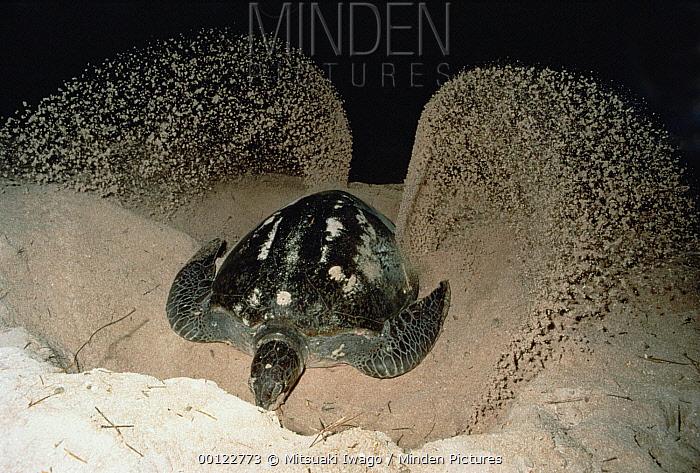 Green Sea Turtle (Chelonia mydas) female digging nest in sand, Australia  -  Mitsuaki Iwago