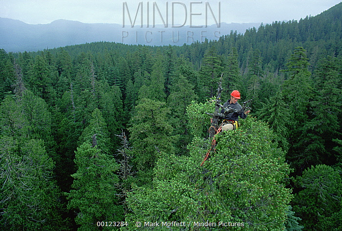 Researcher Joel Clement studies lichen on Douglas Fir (Pseudotsuga menziesii) snag, Wind River, Washington  -  Mark Moffett