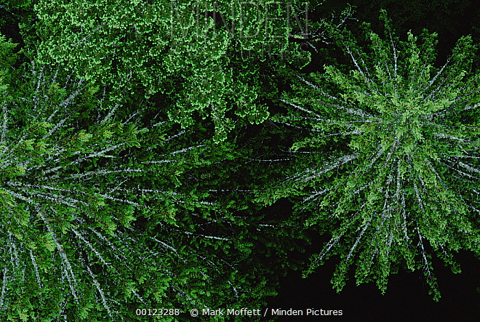 Douglas Fir (Pseudotsuga menziesii) canopy, Wind River, Washington  -  Mark Moffett