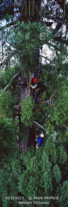 Coast Redwood (Sequoia sempervirens) researchers climb world's tallest living tree, a 365 and one half foot tall tree named National Geographic Society Tree, Redwood National Park, California  -  Mark Moffett