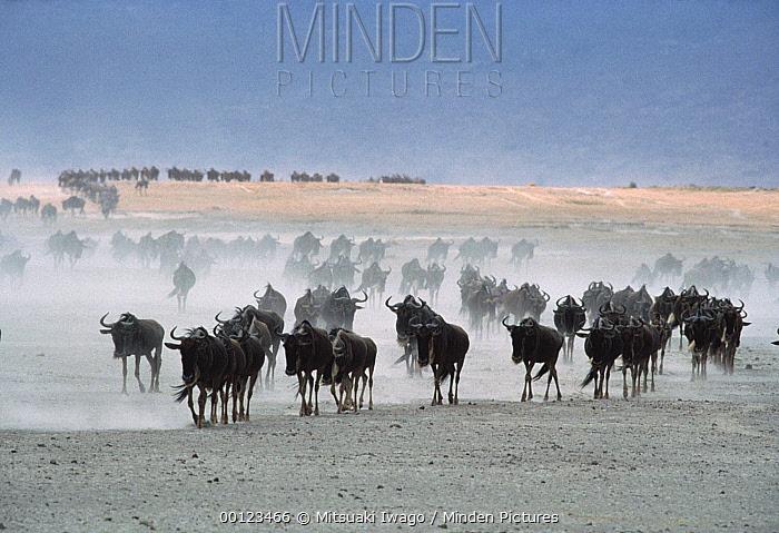 Blue Wildebeest (Connochaetes taurinus) herd in dust, Serengeti National Park, Tanzania  -  Mitsuaki Iwago
