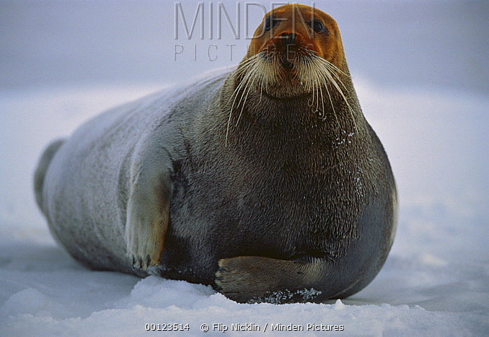 Bearded Seal (Erignathus barbatus) male resting on ice floe with head dyed red from the high iron content of ocean mud in which he hunts for shrimp and clams, Svalbard, arctic Norway  -  Flip  Nicklin