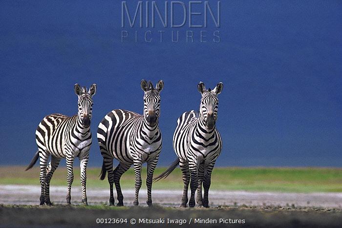 Burchell's Zebra (Equus burchellii) trio on dusty plain, Serengeti National Park, Tanzania  -  Mitsuaki Iwago
