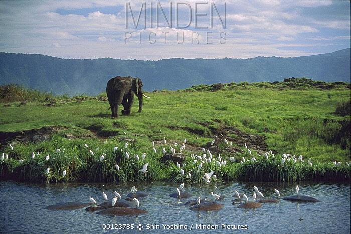 African Elephant (Loxodonta africana) along waterhole with wallowing Hippopotamuses (Hippopotamus amphibious) and Cattle Egret (Bubulcus ibis) flock, Ngorongoro Crater, Tanzania  -  Shin Yoshino
