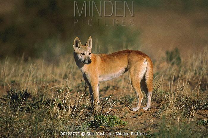 Dingo (Canis lupus dingo) portrait, Simpson Desert, Australia  -  Shin Yoshino