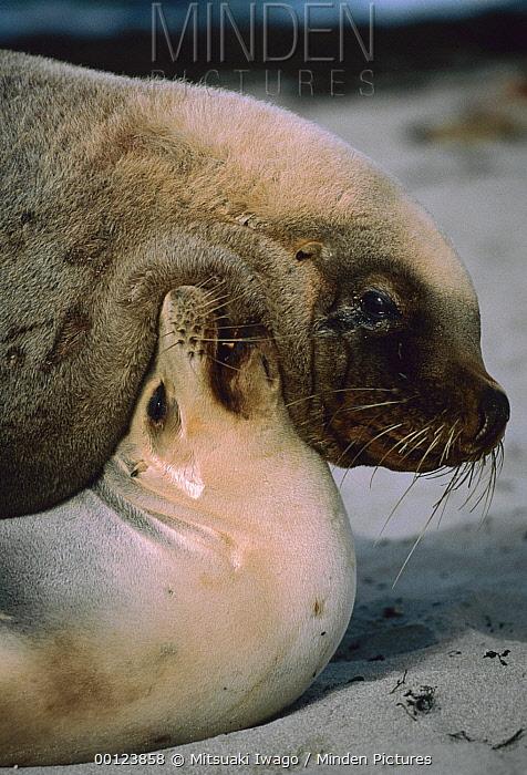 Australian Sea Lion (Neophoca cinerea) couple mating, Australia  -  Mitsuaki Iwago
