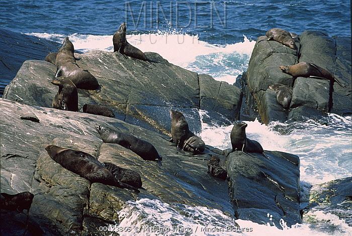 Australian Sea Lion (Neophoca cinerea) group sunning on rocks, Kangaroo Island, Australia  -  Mitsuaki Iwago