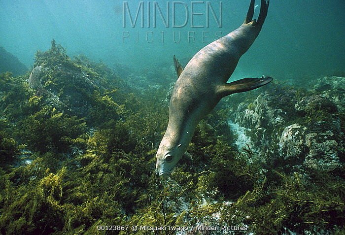 Australian Sea Lion (Neophoca cinerea) swimming underwater, Kangaroo Island, Australia  -  Mitsuaki Iwago