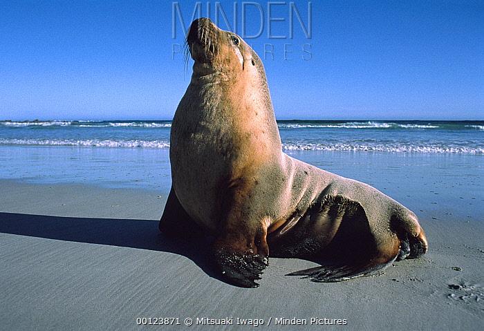 Australian Sea Lion (Neophoca cinerea) male sunning along the shoreline, Kangaroo Island, Australia  -  Mitsuaki Iwago