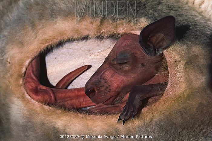 Red Kangaroo (Macropus rufus) joey inside mother's pouch, 130 days old, Australia  -  Mitsuaki Iwago