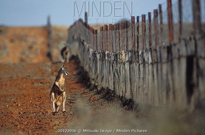 Red Kangaroo (Macropus rufus) standing beside dingo fence, Sturt National Park, Australia  -  Mitsuaki Iwago