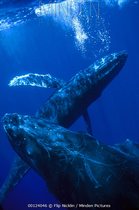 Humpback Whale (Megaptera novaeangliae) singer blowing bubbles with joiner in foreground, Maui, Hawaii- Notice must accompany publication; photo obtained under NMFS permit 987