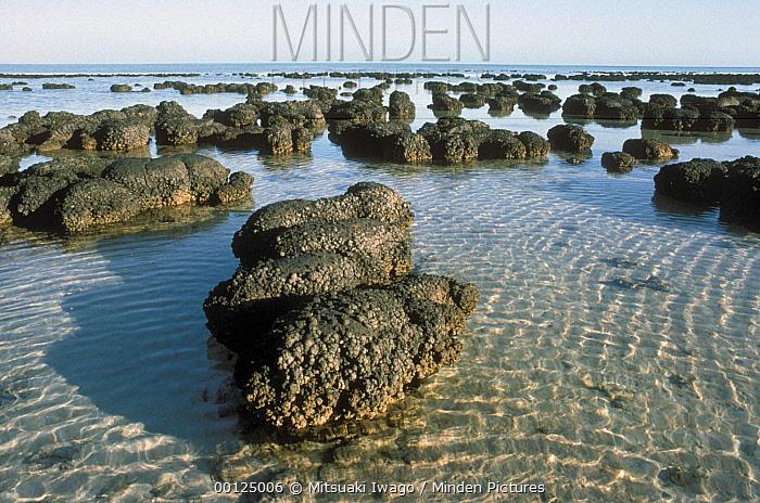 Stromatolites, the oldest life form that still exists today, Shark Bay, Australia  -  Mitsuaki Iwago