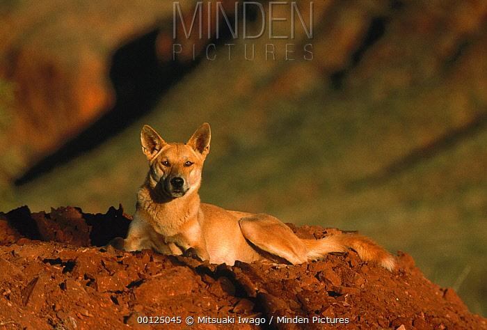 Dingo (Canis lupus dingo) resting, introduced species, Australia  -  Mitsuaki Iwago