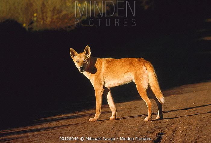 Dingo (Canis lupus dingo) standing in dirt road, Australia  -  Mitsuaki Iwago