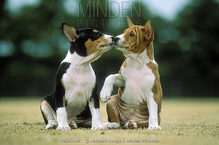 Basenji (Canis familiaris) two puppies nose to nose, Japan  -  Mitsuaki Iwago