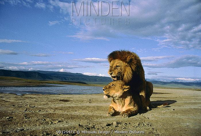 African Lion (Panthera leo) couple mating, Serengeti National Park, Tanzania  -  Mitsuaki Iwago