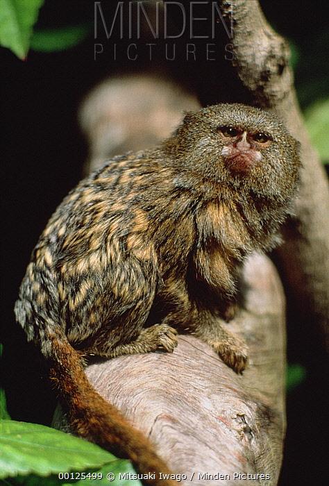Pygmy Marmoset (Cebuella pygmaea) portrait of world's smallest primate, Peru  -  Mitsuaki Iwago