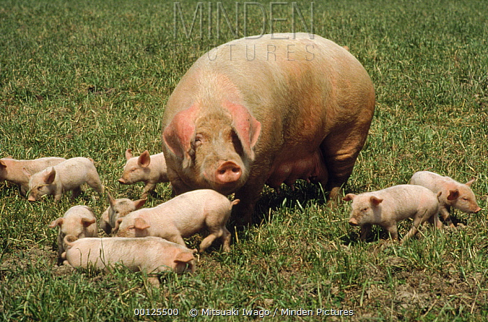 Domestic Pig (Sus scrofa domesticus) sow with piglets, Japan  -  Mitsuaki Iwago