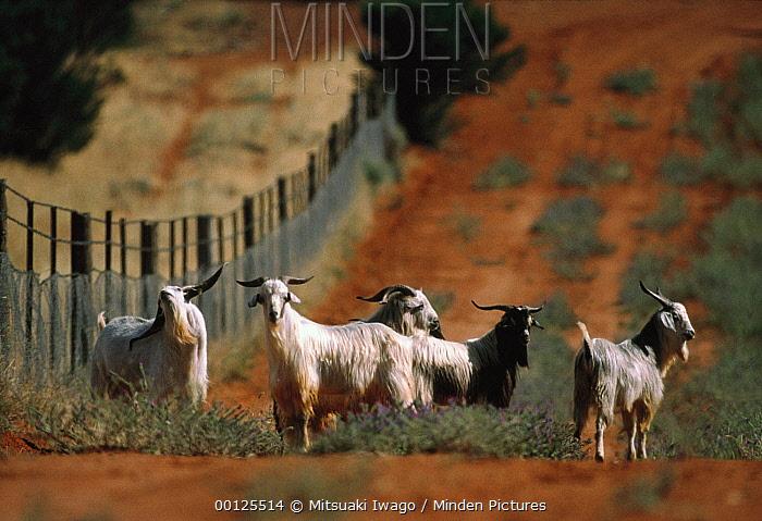 Domestic Goat (Capra sp) herd standing next to a dingo fence, Australia  -  Mitsuaki Iwago