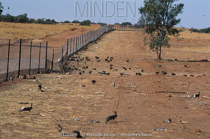 European Rabbit (Oryctolagus cuniculus) group along Dingo fence, once introduced for hunting now are considered a pest, Australia  -  Mitsuaki Iwago