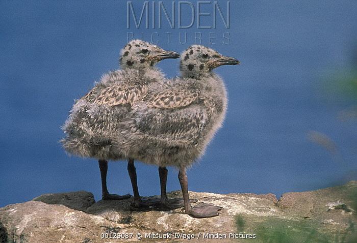 Herring Gull (Larus argentatus) chicks, North America  -  Mitsuaki Iwago