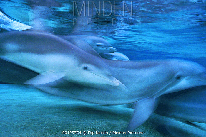 Bottlenose Dolphin (Tursiops truncatus) group swimming, Hawaii  -  Flip  Nicklin
