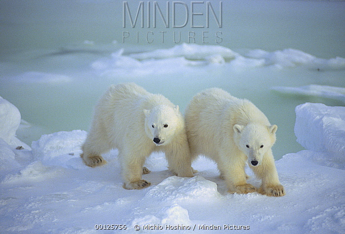 Polar Bear (Ursus maritimus) cubs on snow field, Churchill, Manitoba, Canada  -  Michio Hoshino