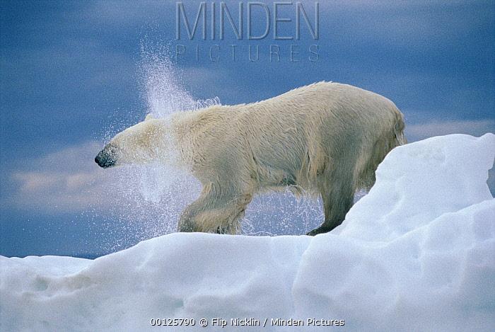 Polar Bear (Ursus maritimus) shakes, off water, Wager Bay, Canada  -  Flip  Nicklin