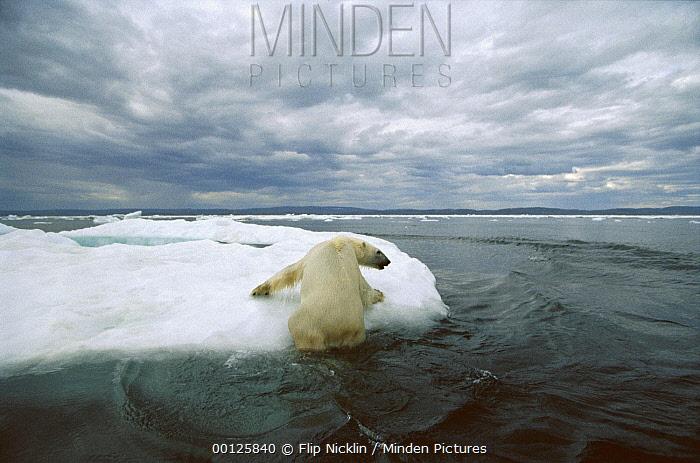 Polar Bear (Ursus maritimus) hauling out on ice floe, Wager Bay, Canada  -  Flip  Nicklin