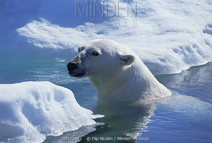Polar Bear (Ursus maritimus) about to haul out on ice floe, Wager Bay, Canada