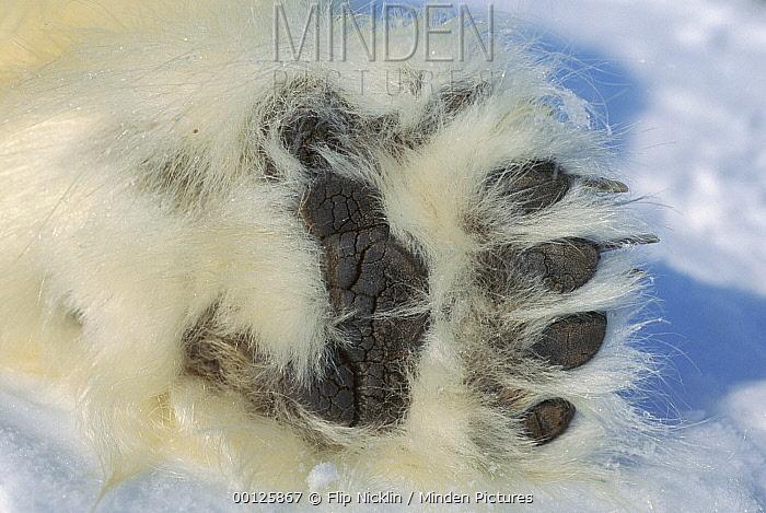 Polar Bear (Ursus maritimus) paw showing black pads and thick fur, Canada