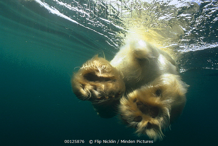 Polar Bear (Ursus maritimus) swimming, Wager Bay, Canada