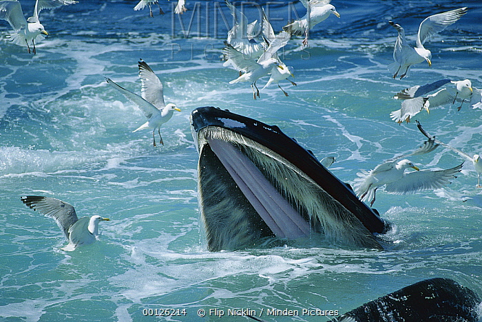 Humpback Whale (Megaptera novaeangliae) feeding, with Herring Gulls (Larus argentatus) waiting for leftovers, Stellwagen Bank National Marine Sanctuary, Massachusetts  -  Flip  Nicklin