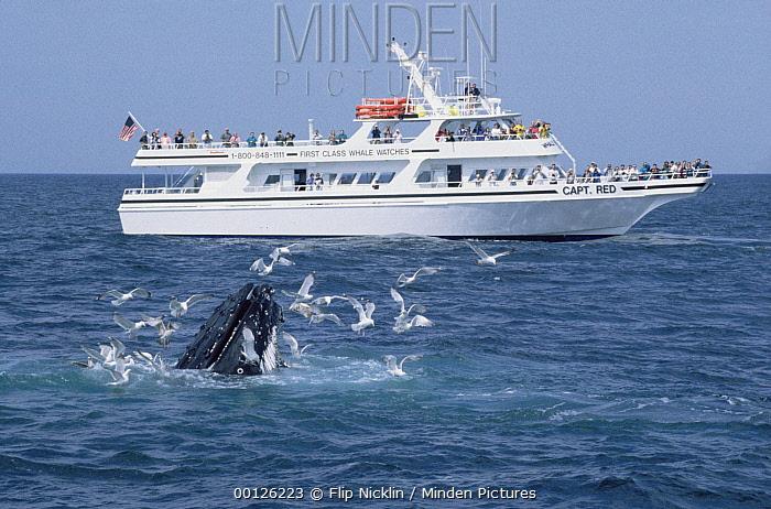 Humpback Whale (Megaptera novaeangliae) and whale watching boat, Stellwagen Bank National Marine Sanctuary  -  Flip  Nicklin