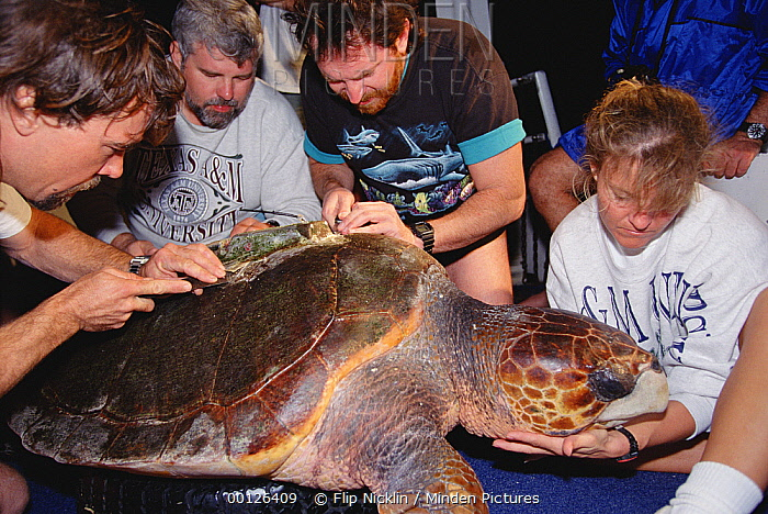 Loggerhead Sea Turtle (Caretta caretta) being outfitted with a satellite tracking device, Flower Garden Banks National Marine Sanctuary, Louisiana  -  Flip  Nicklin