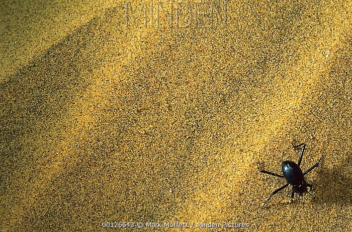 Darkling Beetle (Onymarcris bacchus) collecting dew on its back, Namibia  -  Mark Moffett