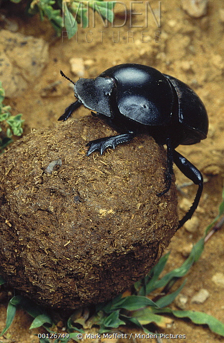 African Scarab Beetle (Circellium bacchus) rolling dung ball, Addo National Park, South Africa
