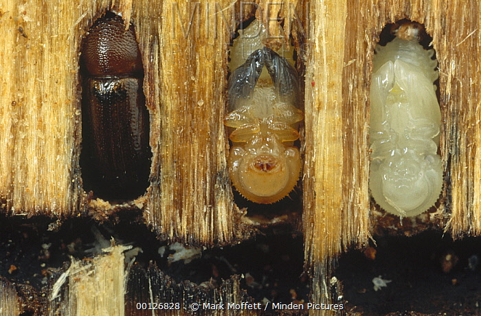 Striped Ambrosia Beetle (Trypodendron lineatum) adult, pupa, and larvae in Douglas Fir (Pseudotsuga menziesii) bark, larvae feed on fungus seen blackening bark surface, Flat Creek, Idaho  -  Mark Moffett